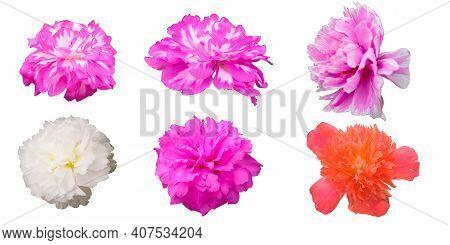 Purslane, Common Purslane, Common Garden Purslane, Pigweed Purslane, Phak Bia Yai (thai Name) (portu