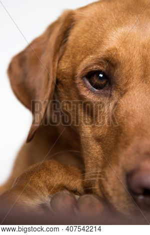 Close Up Of The Head And Eye Of A Fox Red Labrador Retriever Working Dog With Glossy Coat Looking At