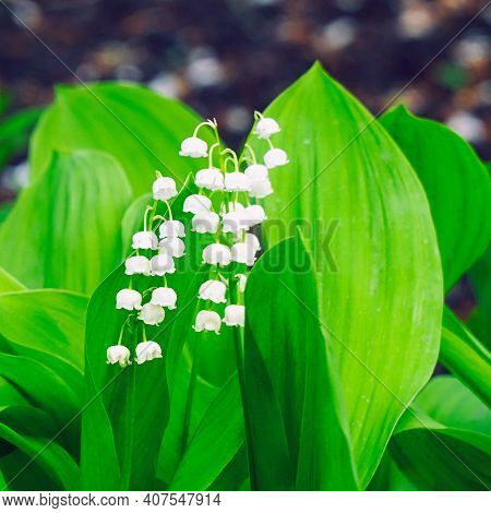 White Lily Of The Valley Flowers On A Natural Background. Selective Focus. Convallaria Majalis