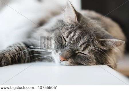 Gray Fluffy Cat Sleeping Indoors, Close-up. Selective Soft Focus. Whiskers, Tabby Siberian Cat