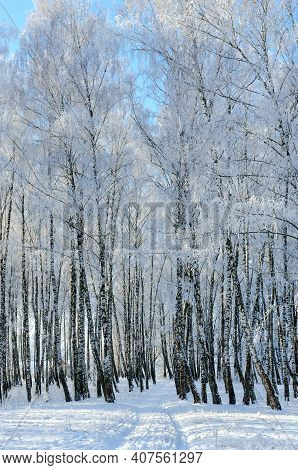 Birch Grove In Hoarfrost On Sunny Day, Picturesque Winter Landscape