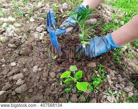 Vegetable Seedlings. Gardening Work. Planting Seedlings Of Vegetables. Women Is Hands Plant Vegetabl