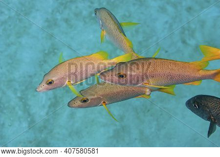 Top View Of A Group Of Schoolmaster Fish