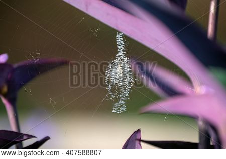 A Spider Decided To Make Her Silky Web Amongst The Purple Leaves Of A Wandering Jew Plant. Bokeh Eff