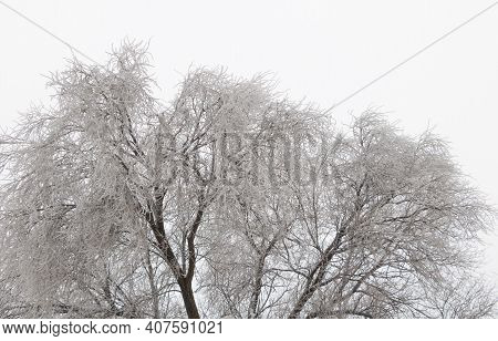 Icicles On An Old And Huge Elm Tree - White Cloudy Sky.