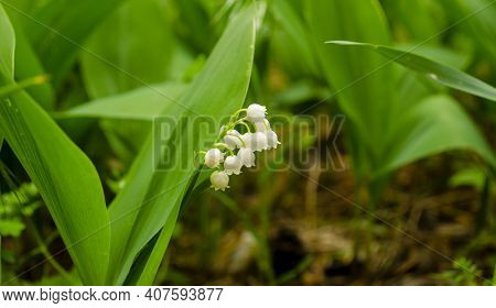 Flower Spring Sun White Green Background May Lily Of The Valley, White Flowers On A Background Of Da
