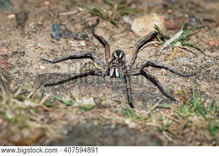 Wolf Spider - Tasmanicosa Tasmanica Australian Spider Family Lycosidae, Robust And Agile Hunters Wit
