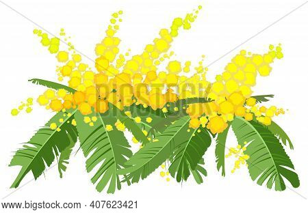 Yellow Mimosa Lush Bouquet. Acacia Flower Symbol Womens Day. Vector Illustration Isolated On White