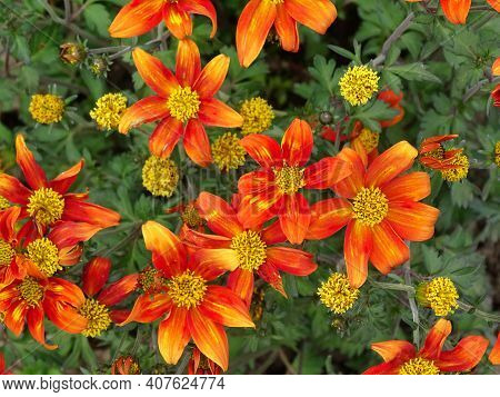 Bidens Hawaiian Flare Red Drop. Flowering Perennial
