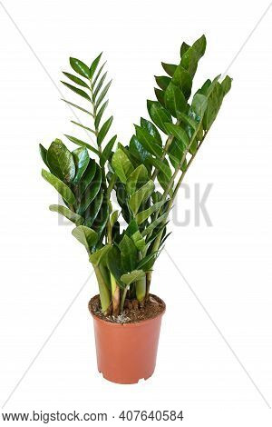 Zamioculcas A Genus Of Flowering Plant Grow In Brown Plastic Pot On White Background Isolated And Cl