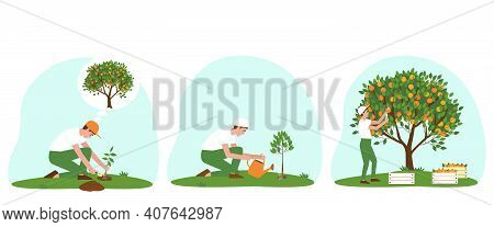 Set Of Illustrations Of Caring For A Tangerine Tree. A Gardener Planted A Plant. Watering The Tanger