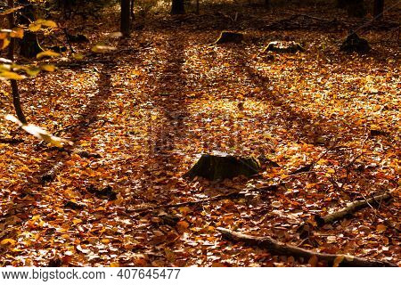 Beech Forest In Autumn With Its Pretty Golden Colors
