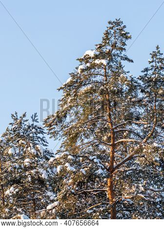 Pine Forest Covered With Fresh Snow During Winter Christmas On A Sunny Frosty Day