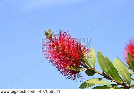 Crimson Bottlebrush Flower - Latin Name - Melaleuca Citrina (callistemon Citrinus)