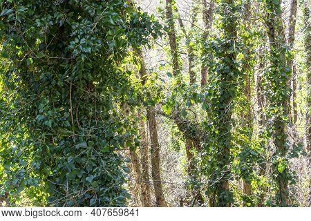 Impenetrable Impassable Old Forest With Trees Overgrown With Ivy In A Humid Forest. Fabulous Mystica