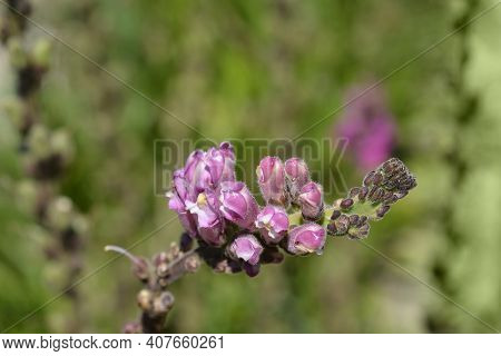 Snapdragon Flower Buds - Latin Name - Antirrhinum Majus