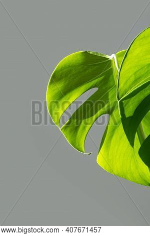 Vertical. Monstera Plant  In A White Pot On A Grey Background. The Concept Of Minimalism. Monstera D