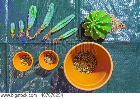 Several Cacti And One Large Round With Open Roots, Ready To Be Transplanted Into New Soil And Clay P