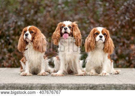 Three Cute Cavalier King Charles Spaniel Dogs Sitting Outdoors Among Beautiful Autumn Leaves. Portra
