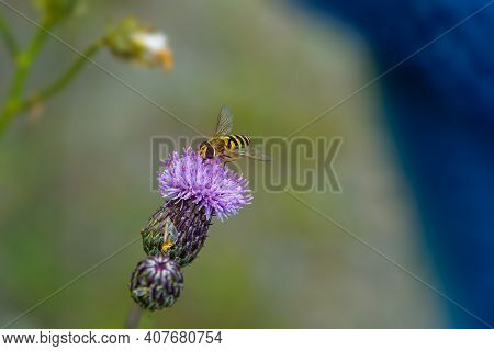 Hover-fly Collecting Nectar From Pink Flower, Close-up Image Of Insect