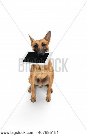 Tablet. Young Belgian Shepherd Malinois Is Posing. Cute Doggy Or Pet Is Playing, Running And Looking