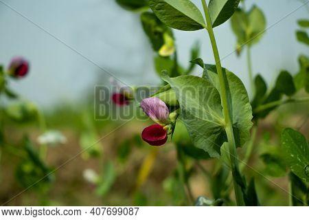 Pea Flower Or Motor Shuti Or Pisum Sativum Or Pisum Sativum. Pea Ezethas Krombek Blauwschok Flower A