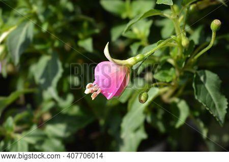 Hybrid Fuchsia Flowers - Latin Name - Fuchsia X Hybrida