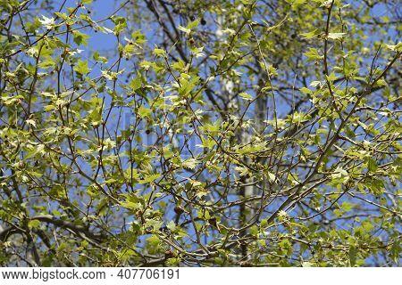 London Plane Treetop- Latin Name - Platanus X Hispanica (platanus X Acerifolia)