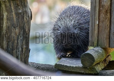 Erethizontidae, North American Porcupine, Climbing Over Trees And Branches. Lives In North America,