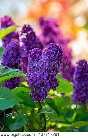 Blossoming Purple Syringa. Lilac Branch In Springtime. Violet Florets Of Lilac Spring In Garden. Nat