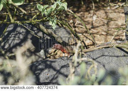 Female Galápagos Lava Lizard, Microlophus Albemarlensis, Also The Albemarle Lava Lizard, Is A Specie