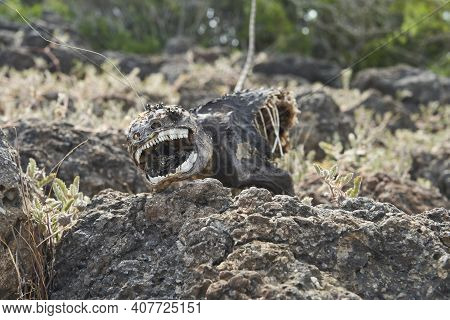 Galapagos Land Iguana, Conolophus Subcristatus. Close-up With Shallow Depth Of Field Of A Dead And D