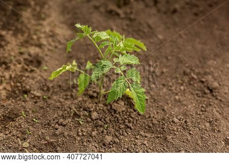 Planting Tomato Seedlings. Young Tomato Seedlings In A Vegetable Garden With Automatic Watering. Clo