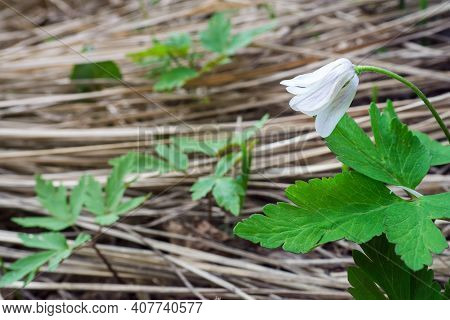 Side View White Flower Of Anemone Nemorosa. Selective Focus, Copy Space