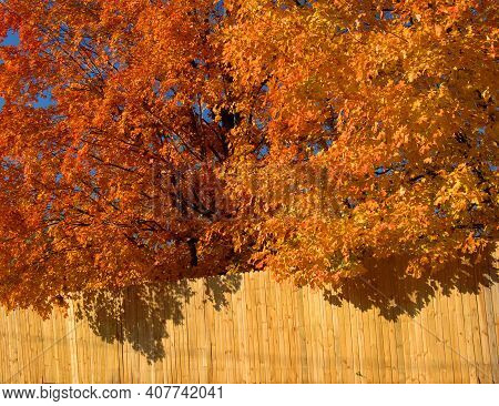 Maple Trees Glow With Orange And Yellow Against A Blue Sky.  Rustic Wooden Fence Looks Heavy With Ov