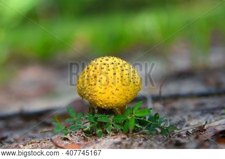 Closeup Shows A Single, Bright Yellow Cap Mushroom.  It Is Nestled Admist Tiny Green Leaves On The G