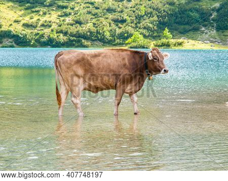 Alpine Cow Standing In The Shallow Alpine Lake, Austria