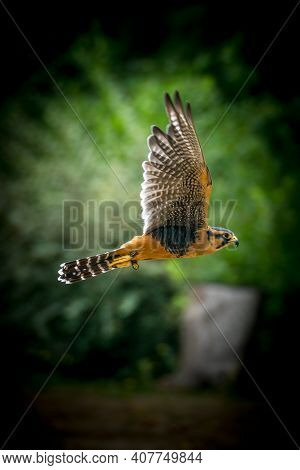 Peregrine Falcon In Flight With Extremely Shallow Depth Of Field. Rare Up Close View Of This Incredi