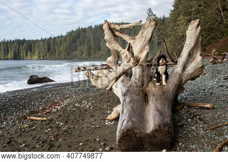 Black And White Portuguese Water Dog Sitting On A Driftwood Log On A Beach At Juan De Fuca Provincia