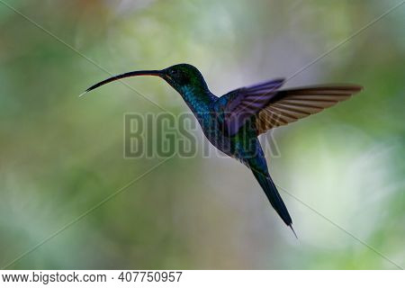 Green Hermit - Phaethornis Guy Large Hummingbird That Is A Resident Breeder From Costa Rica And Pana