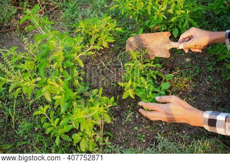 Farmers Holding Small Rusty Shovel  For Natural Manure And Shoveling The Soil Basil Tree. Agricultur