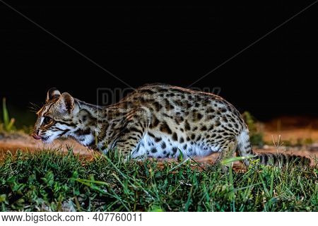 Leopard Cat (prionailurus Bengalensis) Male In The Nature, Thailand
