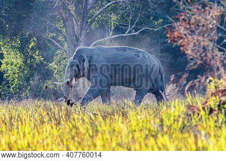 Elephant In A Green Meadow In Khao Yai National Park, Thailand