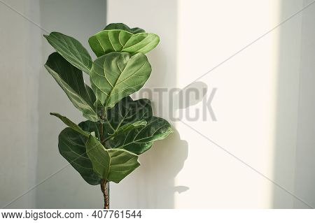 Green Leaves Of Fiddle Fig Or Ficus Lyrata. Fiddle-leaf Fig Tree The Popular Ornamental Tropical Hou