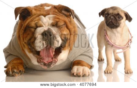 english bulldog laughing at pug puppy that is wearing collar that is too big poster