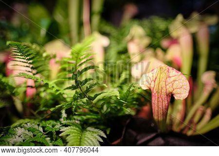 Pitcher plant - sarracenia purpurea - seen in the botanical garden