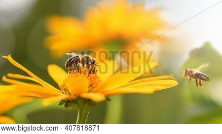 Bee And Flower. Close Up Of A Large Striped Bee Collects Honey On A Yellow Flower On A Sunny Bright