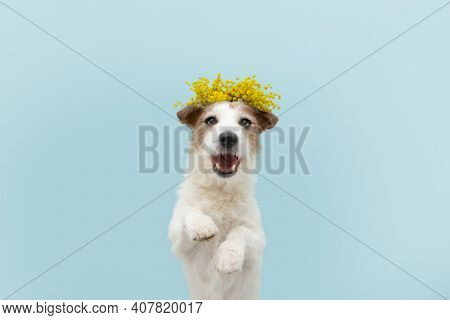 Dog Spring. Funny Happy Jack Russell Standing Hind Two Legs. Isolated On Blue Colored Background.