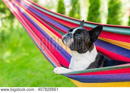 Young Boston Terrier Relaxing On A Colorful Hammock