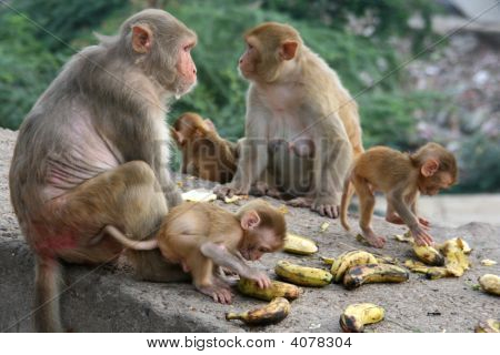 Monkeys In Jaipur, India